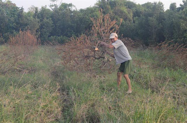 Hàng trăm ha đào quất của tỉnh Nam Định bị chết vì mưa, lụt