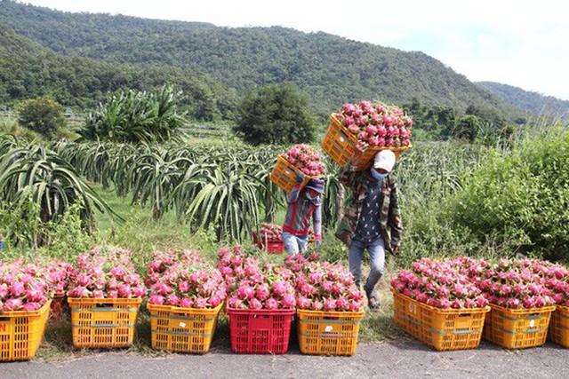 Dù giá thanh long xuống thấp, nhiều nhà vườn bấm bụng thuê công nhân hái để xuất bán.