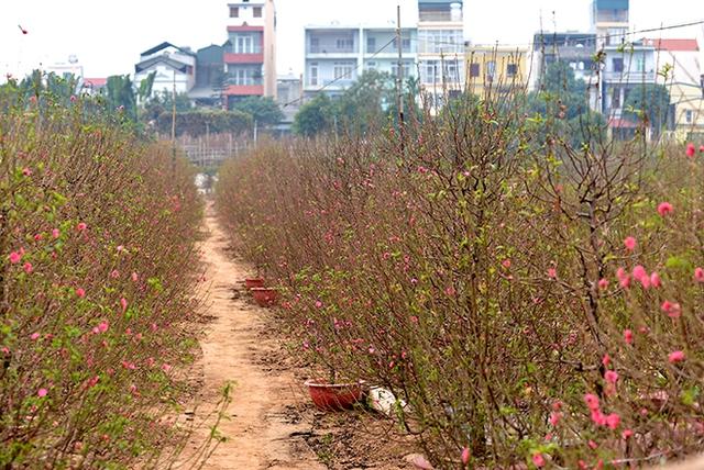 Đào nở sớm, nông dân trồng đào khóc ròng