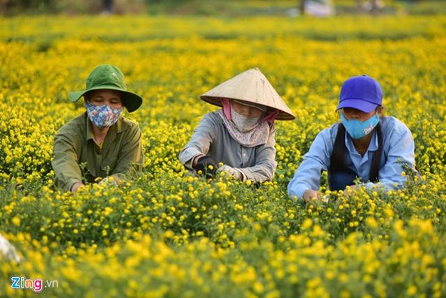 Đây là loại hoa người dân địa phương trồng để làm thuốc từ hàng trăm năm trước. Tác dụng chính của hoa cúc chi là thanh nhiệt, giải độc.