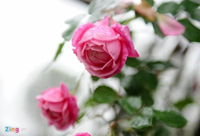 Trong đó, hồng cổ Sa Pa là giống được yêu thích nhất vì sai bông, hoa nhiều lớp, dễ chăm sóc, sức sống bền bỉ và có thể phát triển thành cây cổ thụ.