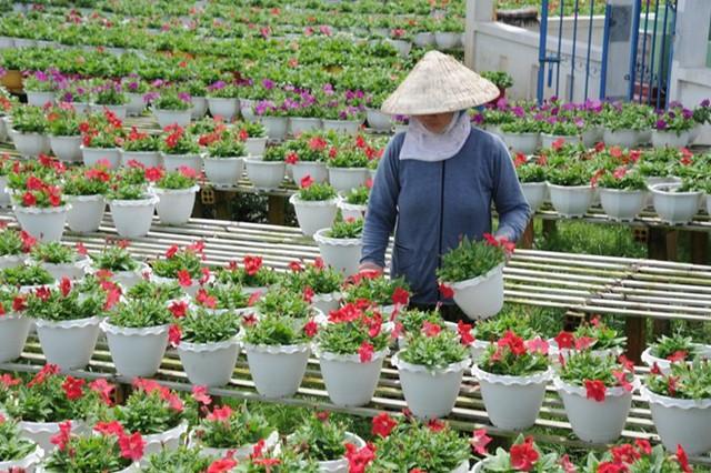 Người trồng hoa miền Tây nhận định giá hoa Tết này sẽ tăng khoảng 20% do nguồn cung giảm. Ảnh: Ngọc Trinh.