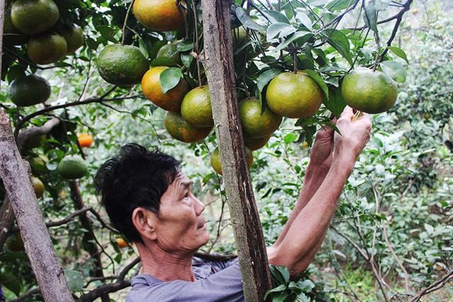 Hầu hết bà con vùng cam Khe Mây đang tăng cường chăm bón số cam bù còn lại trong vườn, chuẩn bị cho dịp Tết. Ảnh: Trường Văn.