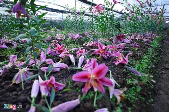 Hoa nở sớm rụng đỏ gốc khiến mỗi gia đình trồng ly bị lỗ 50-60 triệu đồng/sào vì phải bán giá rẻ.