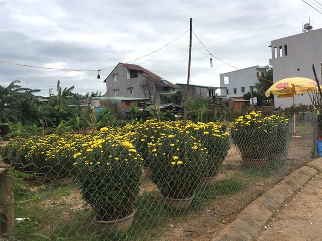Qua tết mà vườn của anh Lộc còn tồn đọng 70 chậu cúc