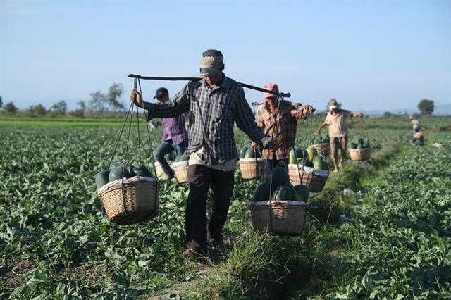 Trên khắp các cánh đồng trồng dưa ở Gia Lai, người dân náo nức bước vào vụ thu hoạch