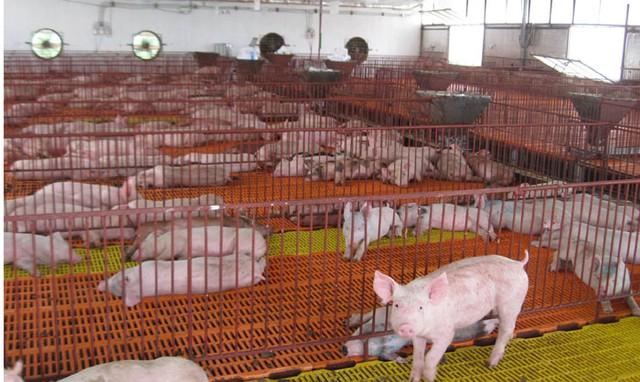 Nguyên nhân khiến giá lợn giảm mạnh là do cung vượt cầu
