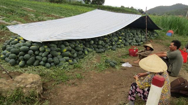 Người trồng dưa hấu méo mặt lâm cảnh nợ nần