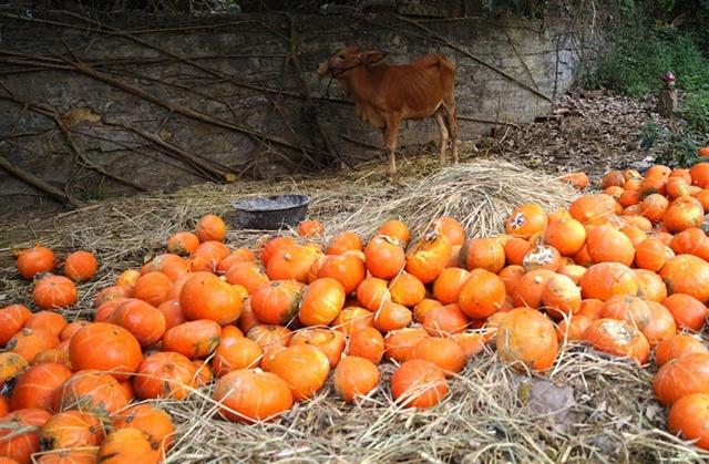 Hàng chục tấn bí đỏ của nông dân xã Bình Mỹ bị nứt, thối, hư hỏng