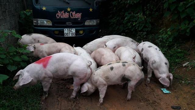 Ngoài Trung Quốc, Việt Nam không xuất khẩu được thịt lợn sang bất cứ quốc gia nào.