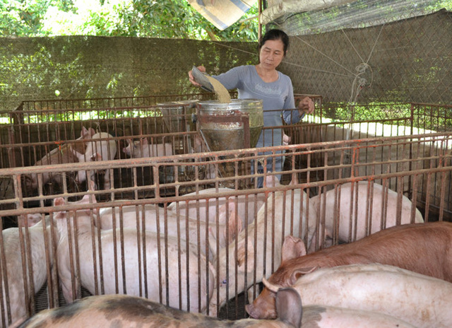 Bà Bùi Thị Nhị, ngụ xã Quang Trung, huyện Thống Nhất, Đồng Nai phải dồn vốn duy trì đàn heo chờ tăng giá. Ảnh: Ngọc An.