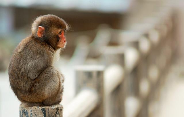 Vì sợ đau, vì sợ mạo hiểm, vì không lỡ xa cái đuôi gắn bó nhiều năm nên chú Khỉ mãi mãi không thể trở thành người.