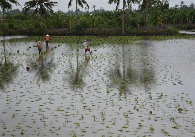 Chính quyền đã bỏ quy hoạch cây mía, cho phép chuyển đổi làm tôm – lúa