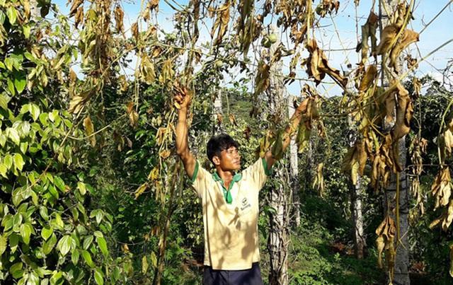 Một nông dân ở huyện Chư Pứh chặt bỏ vườn chanh dây do không cho quả