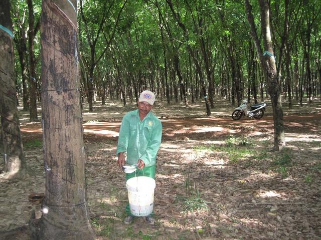 Các nhà vườn đưa diện tích mới vào thu hoạch không chỉ gặp giá mủ xuống thấp mà vật tư phục vụ cho việc cạo mủ lại tăng cao