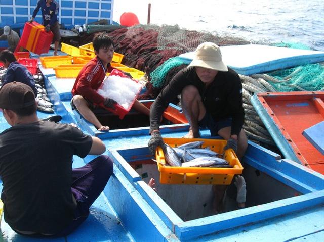 Những tàu lưới vây đánh bắt cá ngừ sọc dưa làm ăn thất bát do mất mùa