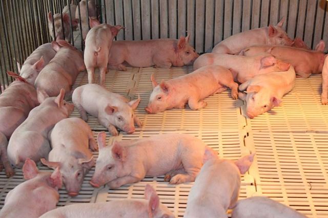 Lợn con cai sữa 6-8kg