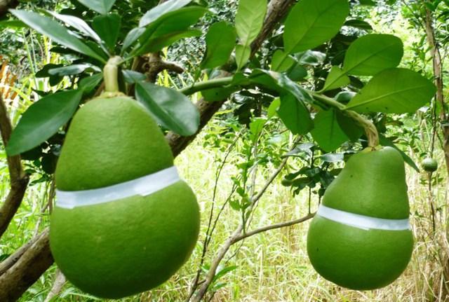 Bưởi hồ lô - sản phẩm trái cây độc đáo Hậu Giang (ảnh GIA TUỆ)