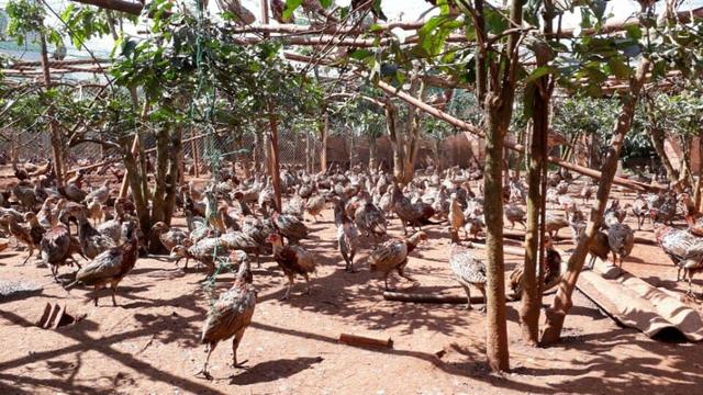 Sau khi gây nuôi chim trĩ thành công, giờ đây mỗi tháng anh lãi gần 100 triệu đồng nhờ xuất bán chim thương phẩm