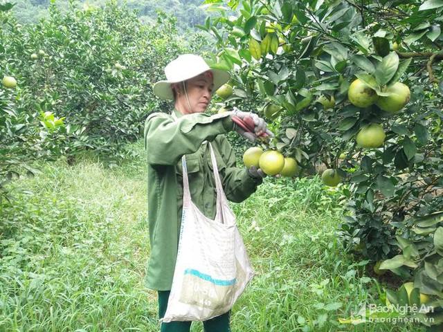 Gia đình chị Đặng Thị Nhâm thôn Tháng Tám, xã Đỉnh Sơn trồng trên 5 sào cam với 320 gốc, năm nay ước tính năng suất đạt khoảng 5 tấn. Ảnh: Thái Hiền