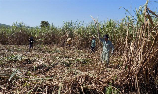 Ngành mía đường đã giúp xóa đói giảm nghèo cho hàng ngàn hộ nông dân