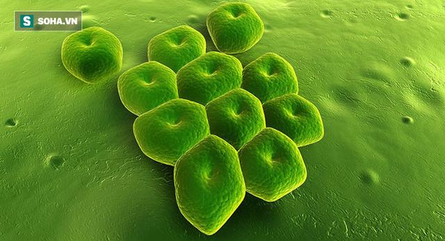 Vi khuẩn Acinetobacter