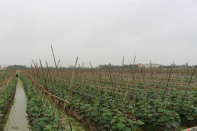 Ruộng dưa bao tử đang ra hoa và bói quả