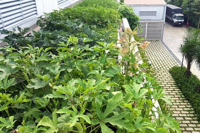Khu vườn ngoài trời này còn cung cấp nguồn thực phẩm sạch cho bữa ăn hàng ngày của cán bộ, nhân viên trong xưởng.