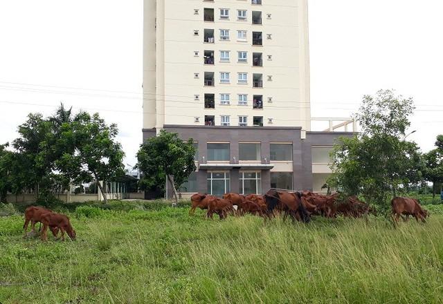Dù vậy bò vẫn vô tư gặm cỏ ngay phía trước.