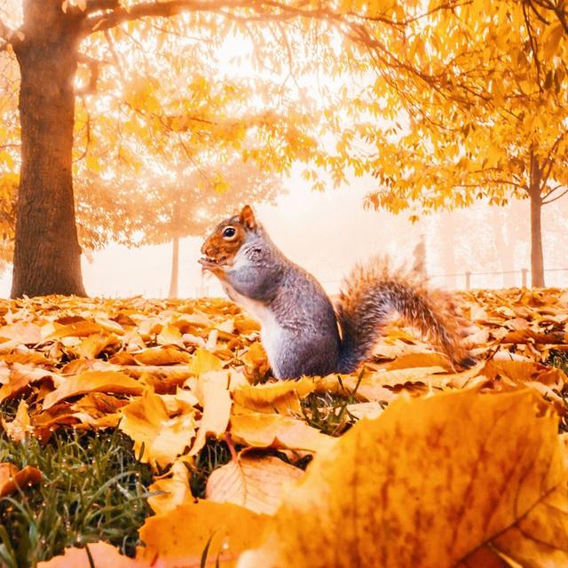 Một chú sóc đang gặm hạt trong công viên tại London, Anh.