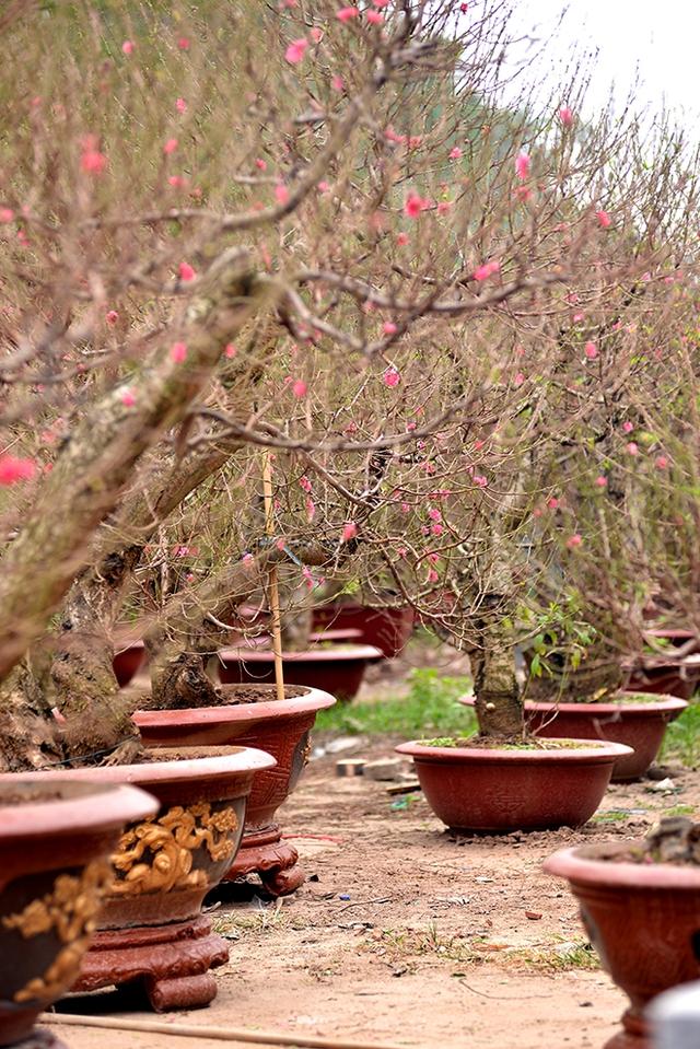 Trên tuyến phố Lạc Long Quân đã bày bán đào thế, đào phai sớm hơn dự định bởi hoa đã nở kín cả cây