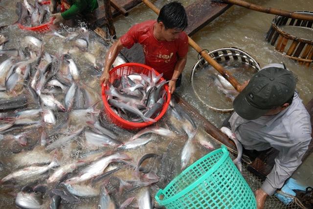 Thu hoạch cá tra ở ĐBSCL