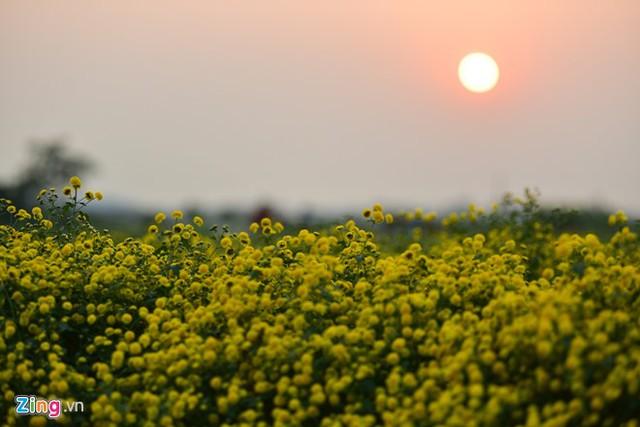 Một vụ hoa cúc chi kéo dài 6 tháng. Mùa thu hoạch thường kéo dài khoảng 30 ngày vào thời điểm Tết Dương lịch.