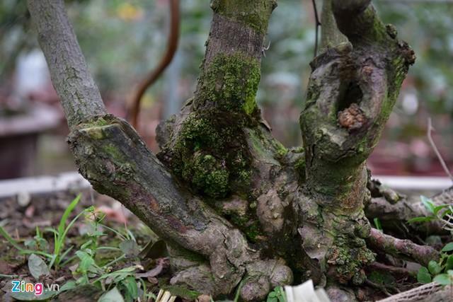 Theo anh Ngọc Dương, chủ một nhà vườn ở Xuân Quan, hồng cổ Sa Pa càng có gốc lớn, sần sùi, sức sống khoẻ, tán đẹp, sai hoa càng có giá trị.