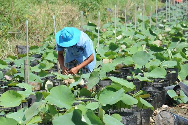 Nhiều vườn tăng cường chăm sóc thêm kiểng lá, kiểng cảnh để đa dạng chủng loại. Ảnh: Ngọc Trinh.