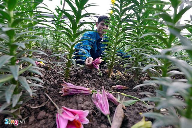 Anh Chu Hữu Tới cho biết thời tiết nắng nóng sau đó gió mạnh, trời lại đổ mưa là nguyên nhân khiến hoa ly nở sớm và rụng hết. Năm nay nhà anh Tới trồng 3 sào ly (tương đương 2 vạn củ giống, mỗi củ giống có giá khoảng 17.000 đồng), số hoa nở sớm, rơi rụng chiếm một nửa. Gia đình anh đã thiệt hại gần 100 triệu đồng.