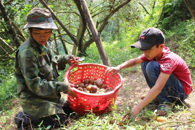 Hàng ngày chị Hiền cùng cậu con trai út phải lên khu đồi trồng cam nhặt từng rổ cam rụng mang đi đổ bỏ. Ảnh:Phạm Trường.
