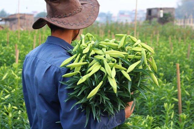 Những người nông dân Tây Tựu đang tất bật với việc thu hoạch hoa loa kèn - Ảnh Lê Nguyễn Thiên Anh