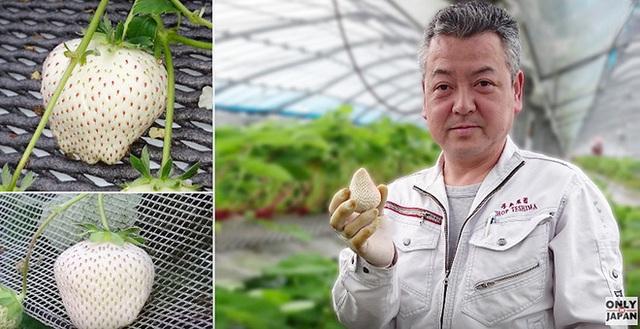 Ông Teshima và những trái dâu bạch ngọc độc nhất vô nhị trên thế giới.
