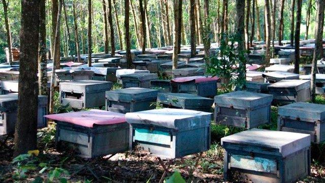 Năm 2017 có tới 156 hộ nuôi ong từ vùng khác đến xã Kỳ Tây quay mật