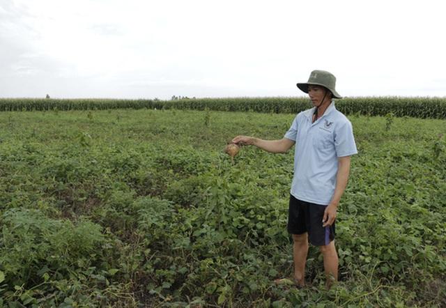 Những ruộng sắn không bán được, nhà nông còn phải tốn thêm tiền mua thuốc trừ cỏ để xịt bỏ
