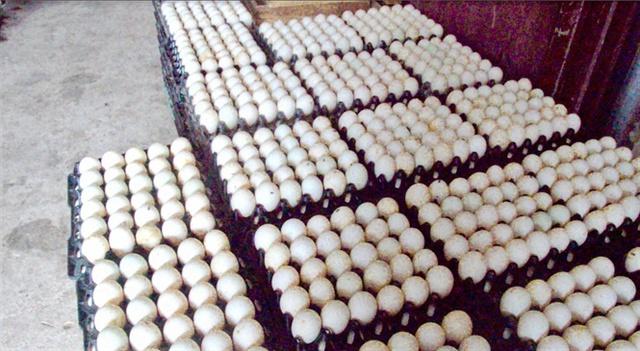 Những khay trứng chuẩn bị đưa vào lò ấp