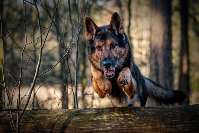 Chó đã lao lên cứu bạn ngay khi nghe thấy tiếng kêu của dê. Ảnh minh họa.