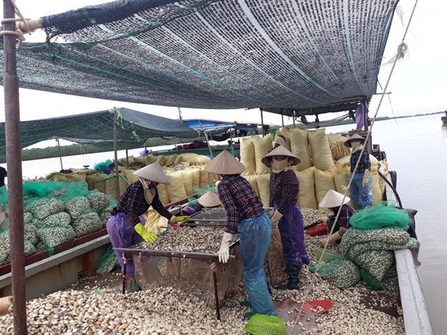 Hàng ngày có hàng trăm tấn ngao ở xã Đại Hợp được xuất đi Trung Quốc nhưng ngân sách không thu được đồng nào