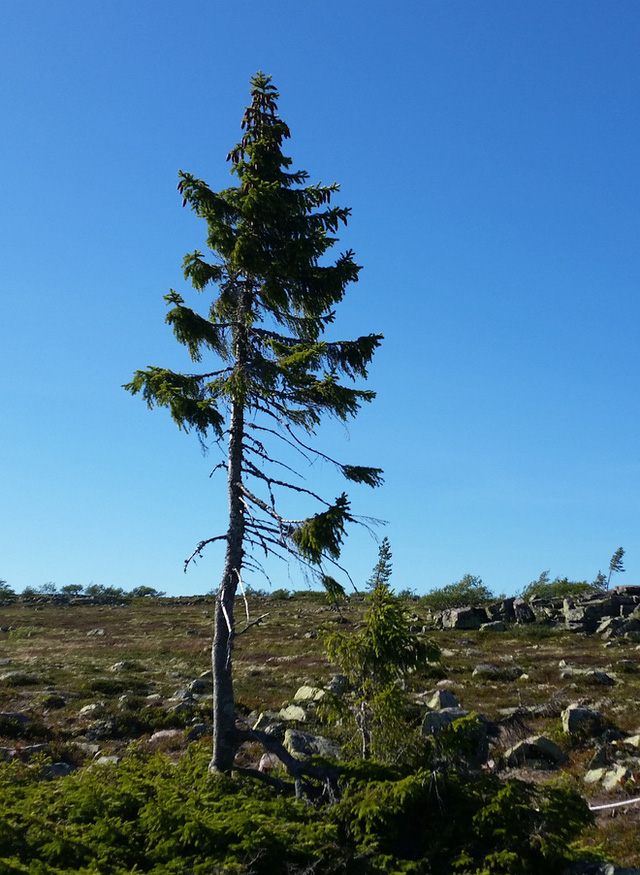 Hình ảnh cây Old Tjikko mọc trên vùng núi Fulufjället ở miền tây Thụy Điển. Cây có tuổi đời 9.558 năm. Ảnh: Internet.