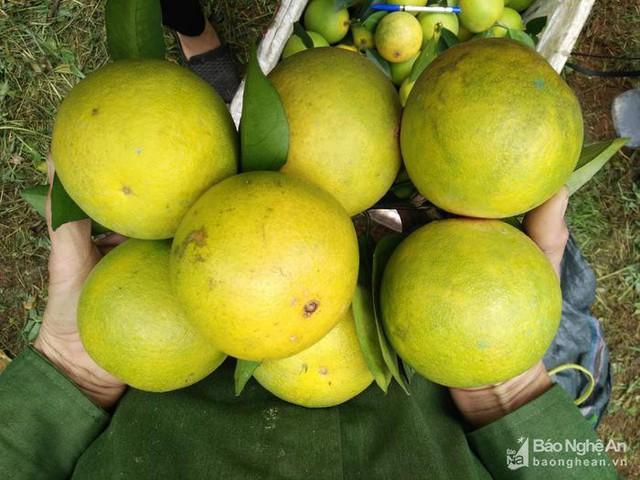 Cam Bãi Phủ được trồng chủ yếu là các giống Vân Du, Xã Đoài lòng vàng và V2. Đây là những loại giống cam phù hợp với điều kiện khí hậu thổ nhưỡng ở vùng đất này. Ảnh: Thái Hiền