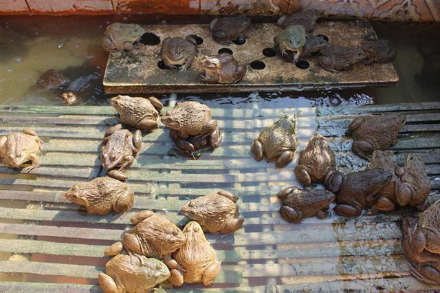 Theo ông Thính, đàn ếch này sang năm bắt đầu sinh sản