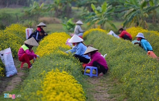 Vào vụ, chủ ruộng huy động rất nhiều nhân công để hái hoa.
