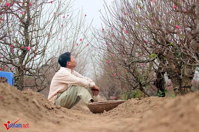 Mùa đông ấm nên đào nở sớm (ảnh: Đoàn Bổng)