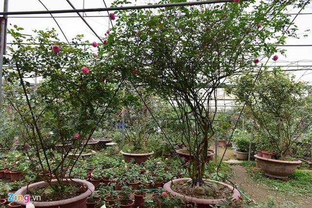 Giá một cây hồng cổ Sa Pa dao động từ vài triệu đến vài chục triệu đồng. Đặc biệt, có cây lên đến 100 triệu đồng. Trong ảnh là hai cây hoa tầm giá 20-30 triệu đồng.